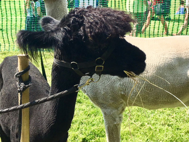 Dinosaur Day Thurnscoe, Alpacas